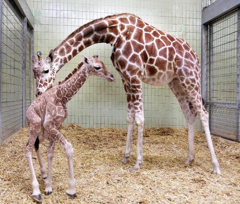 Junge Giraffe im Karlsruher Zoo geboren - Metropolnews.info