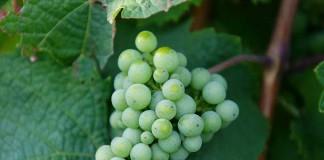 Weintrauben in der Pfalz (Foto: Holger Knecht)