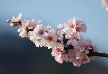 Mandelblüten In Gimmeldingen (Foto: Holger Knecht)