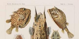 Ernst Haeckel, Kunstformen der Natur, 1899 - 1904 - Tafel 42 Ostraciontes - Kofferfische