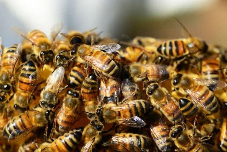 Symbolbild Bienen (Foto: Pixabay)
