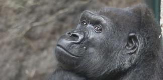 Gorilla-Weibchen Julchen verstarb im Alter von 52 Jahren (Foto: Matthias Besant