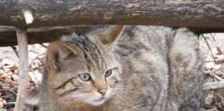 Weiter verbreitet als gedacht: Die Europäische Wildkatze Felis silvestris silvestris (Foto: Senckenberg/Steyer)
