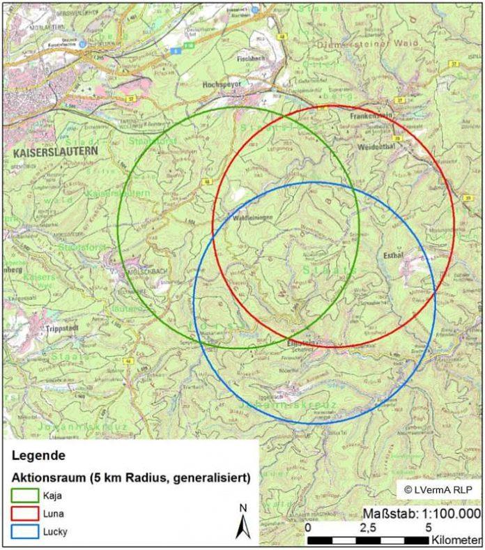 Die Karte verdeutlicht die ungefähren Aktionsräume der drei Luchse, generalisiert auf einen Kreis mit 5km Radius mit Stand Mitte letzter Woche. (Foto: Stiftung Natur und Umwelt Rheinland-Pfalz Projektbüro LIFE Luchs)