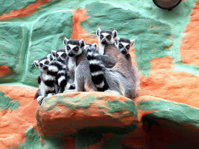 Lemuren Zoo KL