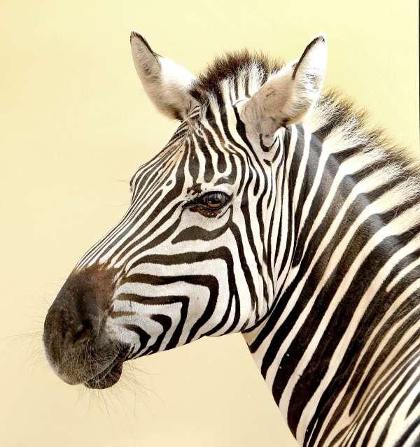 Zebra im Zoo Karlsruhe (Foto: Stadt Karlsruhe)