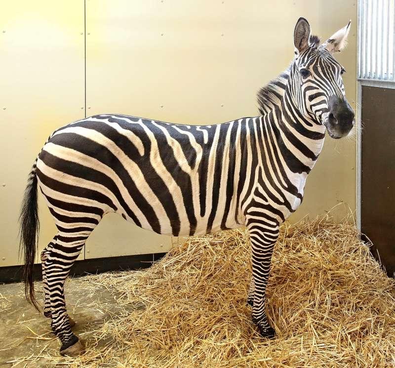 Die vier Böhm-Zebras bleiben zur Eingewöhnung zunächst im Stall (Foto: Stadt Karlsruhe)