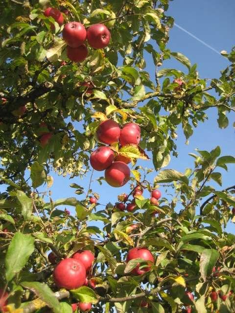 Äpfel (Foto: Stadtverwaltung Rheinstetten)