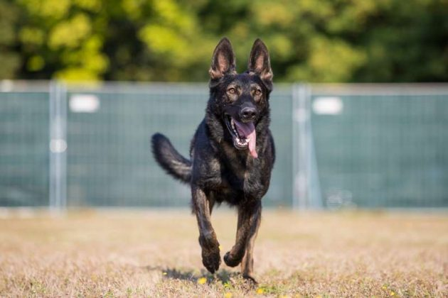 Diensthund (Foto: Stephan Dinges)