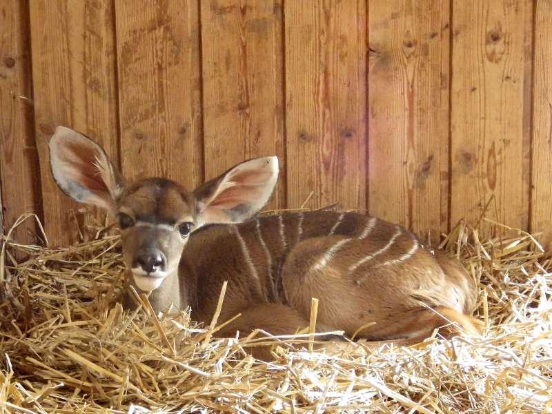 Der junge Kubus (Foto: Zoo Heidelberg)