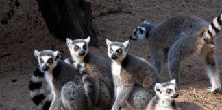 Lemurenanlage Zoo KL