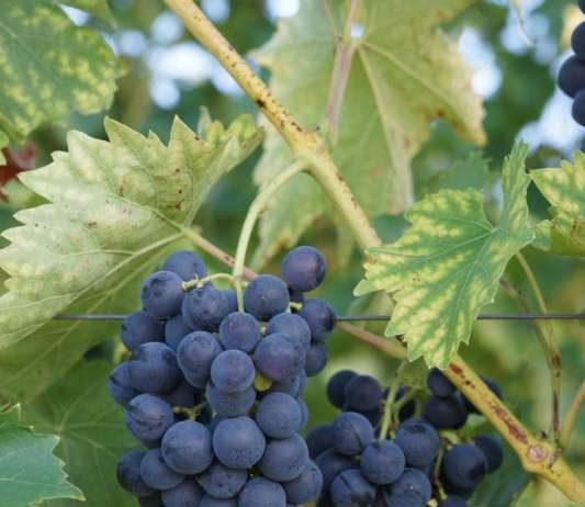 Weintrauben (Symbolbild, Foto: Holger Knecht)
