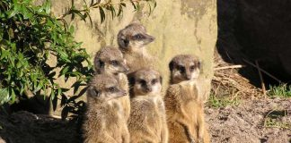 Erdmännchengruppe (Foto: Zoo Landau)