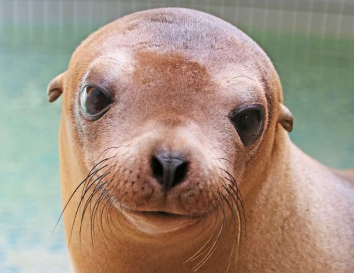Seelöwin Donna (Foto: Zoo Landau)
