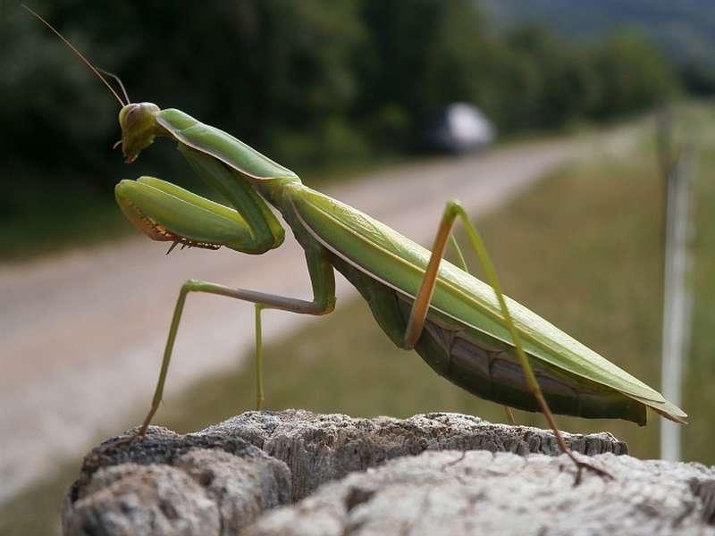 Insekt des Jahres 2017: Die Gottesanbeterin Mantis religiosa. (Foto: Senckenberg/Schmitt)