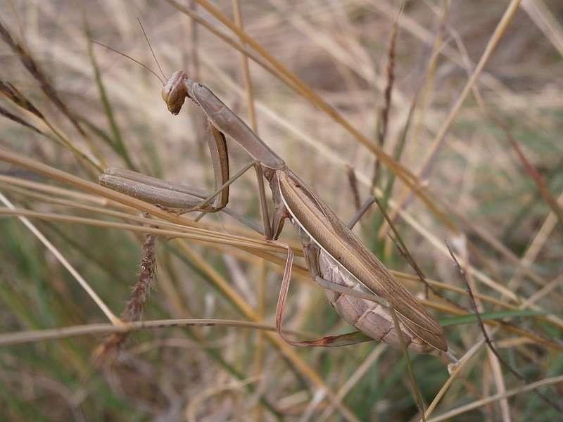 Die Färbung von Mantis religiosa reicht von hellbraun bis knallig-grün. (Foto: Senckenberg/Schmitt)