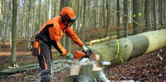 Wo nach der Holzernte mehr Licht auf den Boden fällt, können im nächsten Frühling tausende Bucheckern des Herbstes keimen. So entstehen strukturreiche Wälder. (Foto: Landesforsten Rheinland-Pfalz, Titzja Schmidt)