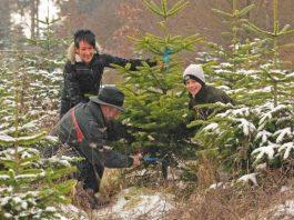 Aussuchen und Einschlagen eines Weihnachtsbaumes (Foto: Ingrid Lamour)