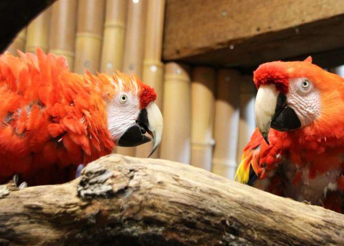 Die Hellroten Ara Rubin (links) und Douglas alias Rosalinda (Foto: Zoo Karlsruhe)