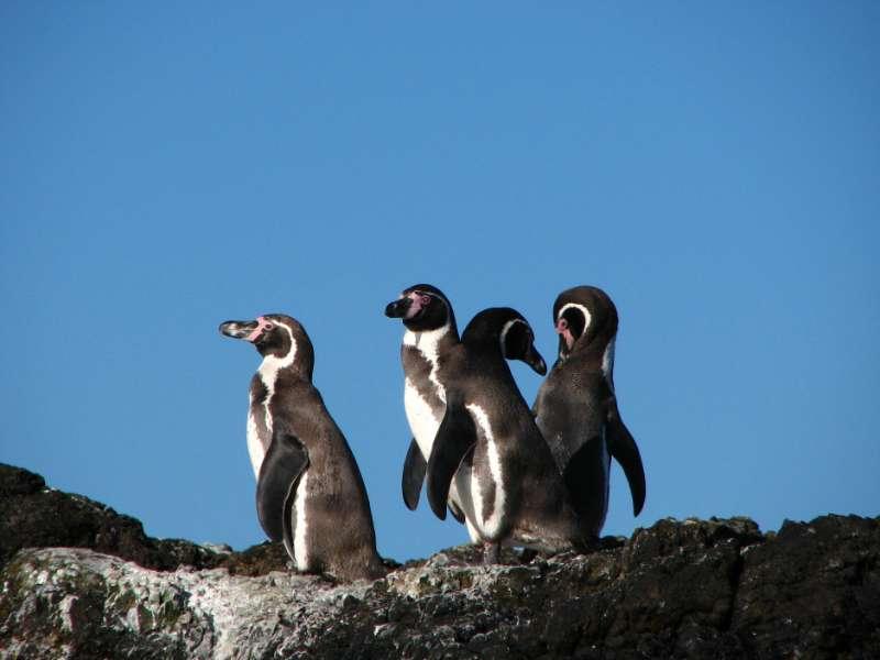 Humboldt-Pinguine (Foto: Stefan Görlitz)