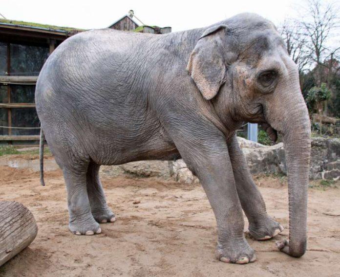 Shantis Beschwerden haben sich deutlich verschlimmert (Foto: Zoo Karlsruhe)