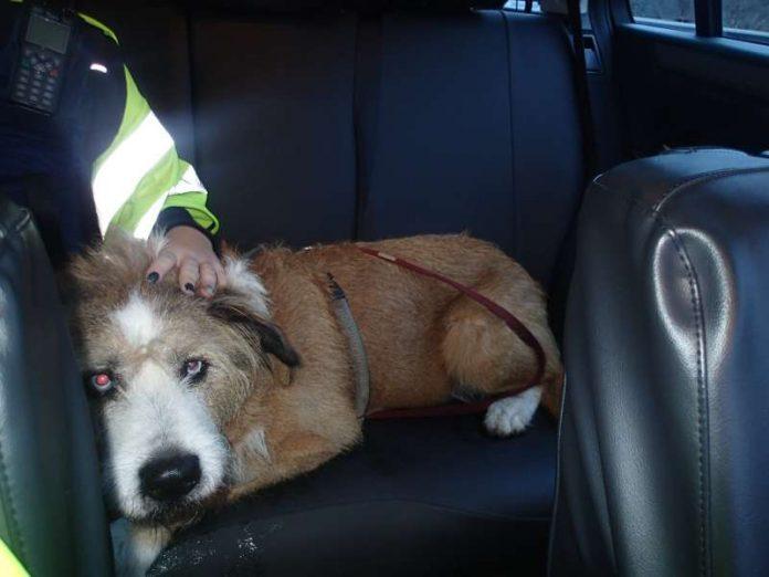 Foto vom Hund im Streifenwagen