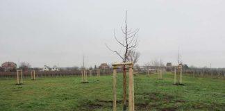 Im Weindorf Mußbach hat die Umweltabteilung jetzt elf Obstbäume pflanzen lassen. (Foto: Stadtverwaltung Neustadt)