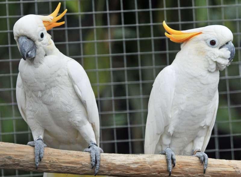 Orangehaubenkakadus stehen im Mittelpunkt des ersten Projekts (Foto: Zoo Karlsruhe)