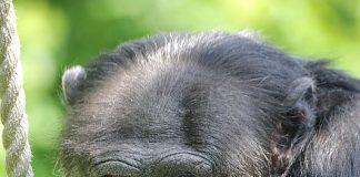 Schimpanse Benny (Foto: Stadt Karlsruhe)