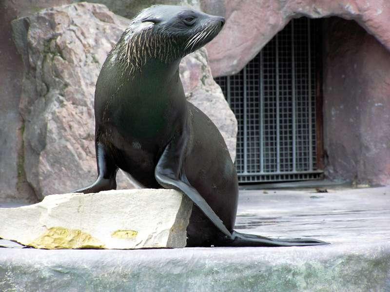 Seebär im Zoo Landau (Foto: Zooschule Landau)