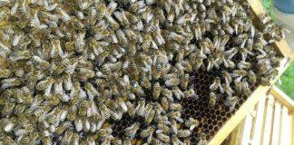 Bienen auf Wabe_