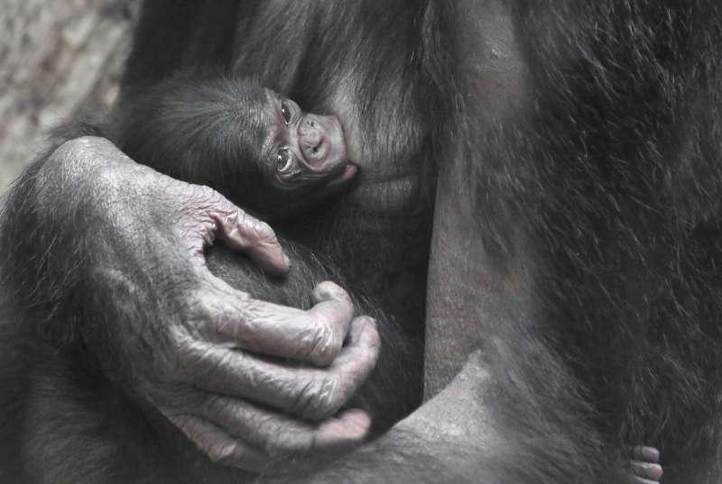 Bonobo BASHIRA mit Jungtier WOLO (Foto: Matthias Besant)