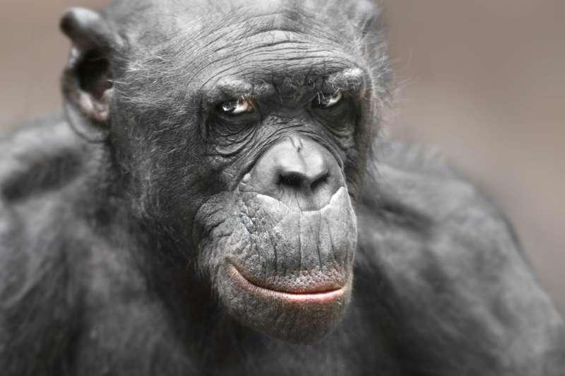 Bonobo LUDWIG (Foto: Matthias Besant)