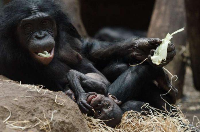Bonobo MIXI mit Jungtier TIKALA (Foto: Sascha Klacke)