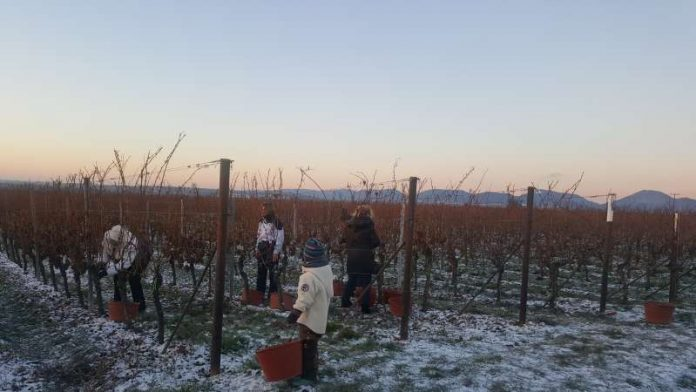 Eisweinernte der vergangenen Nacht auf dem Weingut Villa Hochdörffer. (Foto: Weingut Villa Hochdörffer)