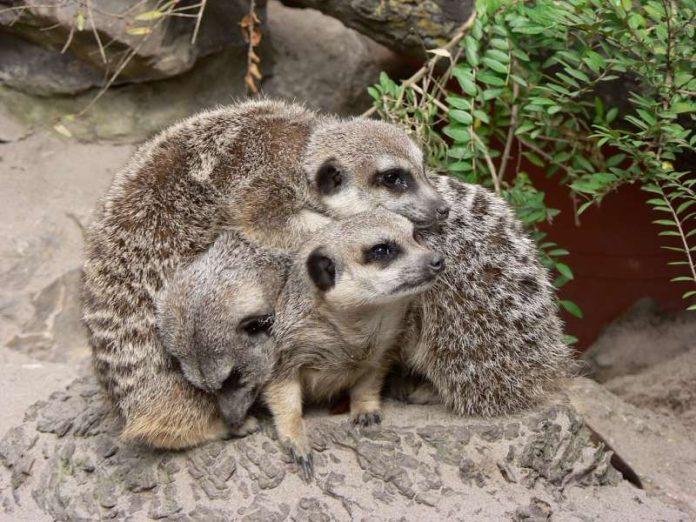 Erdmännchen (Foto: Zooschule Landau)
