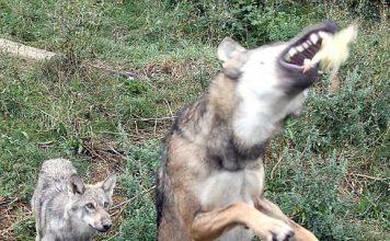 Wolfsfütterung (Foto: Freizeitbetriebe Worms)