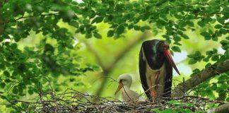 Schwarzstorch im Nest mit Jungvogel (Foto: Landesforsten RLP)