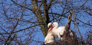 Weißstörche beziehen bereits ihre Nester im Zoo Heidelberg (Foto: Heidrun Knigge/Zoo Heidelberg)