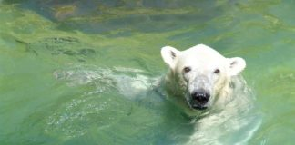 Eisbär Kap wird bald nach Karlsruhe zurückkehren. (Foto: Siegfried W. Kloth, Tierpark Neumünster)