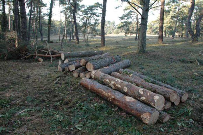 Zustand Maßnahmenfläche im Naturschutzgebiet Sandhausener Düne und Pflege Schönau-Galgenbuckel nach der Baumentnahme (Foto: RP)