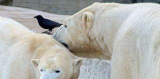 Wie werben Eisbären um das andere Geschlecht? Antworten gibt es bei den Sonderführungen zum Valentinstag (Foto: Zoo Karlsruhe)