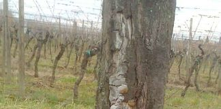 Pilzbefall an einem der Zwetschgenbäume (Foto: Stadtverwaltung)
