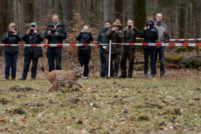 Der Luchs wurde am 7. März 2017 freigelassen (Foto: Stiftung Natur und Umwelt RLP / Martin Greve)