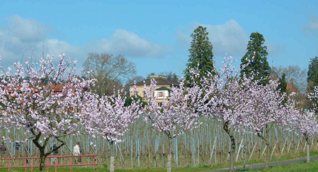 Mandelblüten (Foto: Kultur- und Weinbotschafter Pfalz e.V.)