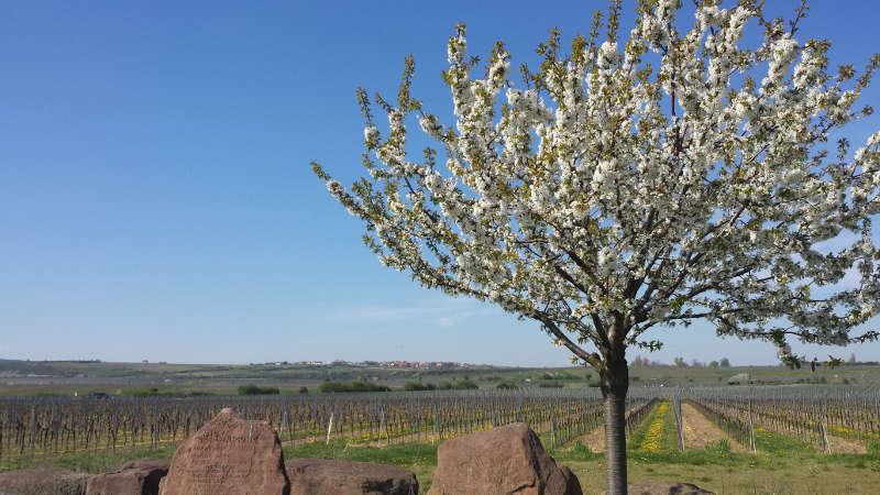 Herrliche Landschaft (Foto: Kultur- und Weinbotschafter Pfalz e.V.)