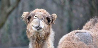 Dromedar Salome ist tot (Foto: Zoo Landau)