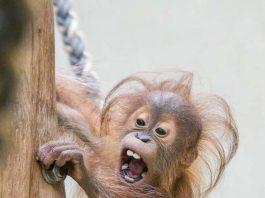 Berani klettert (Foto: Heidrun Knigge)