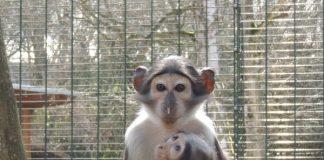 Weißscheitelmangabe IVY mit einem Geschwistertier im Zoo Landau in der Pfalz (Foto: Zoo Landau)