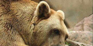 Benni war eine besondere Tierpersönlichkeit. (Foto: Gerd Löwenbrück/Zoo Heidelberg)
